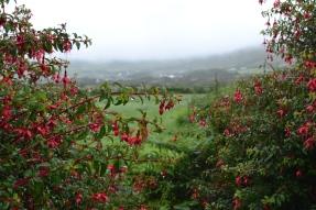 fuschia hedge and countyside